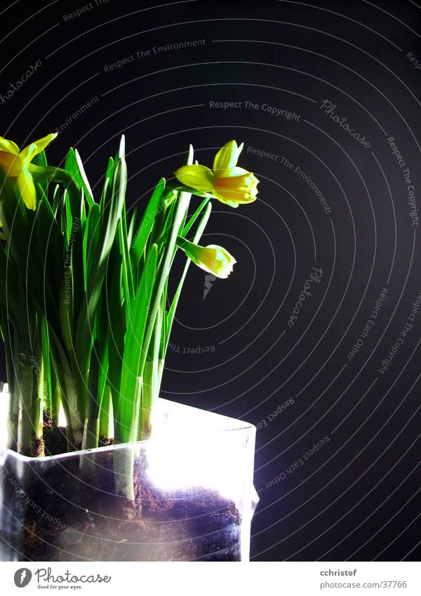 Green Flower Black Yellow Spring Narcissus Wild daffodil