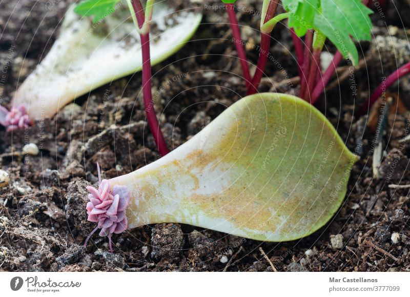Succulent leaf with roots and shoots. succulent leaves soil gardening plant natural young reproduction nature green closeup growth background tropical macro