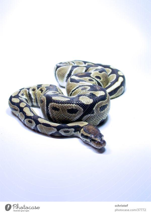 Cold Dangerous Snake