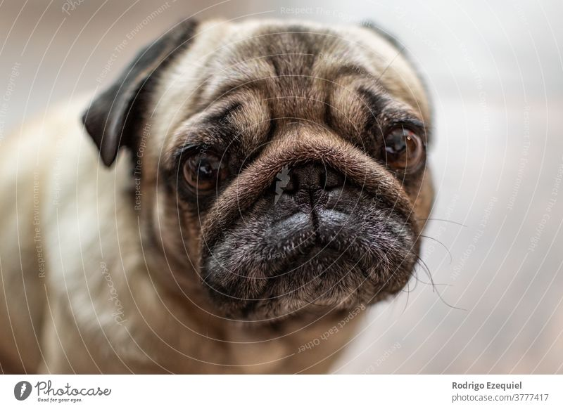 Portrait of a sweet pug Enchanting Animal background already Breed Brown canine carlino Cute Dog little dog Domestic Eyes Face boyfriend Funny Head Looking