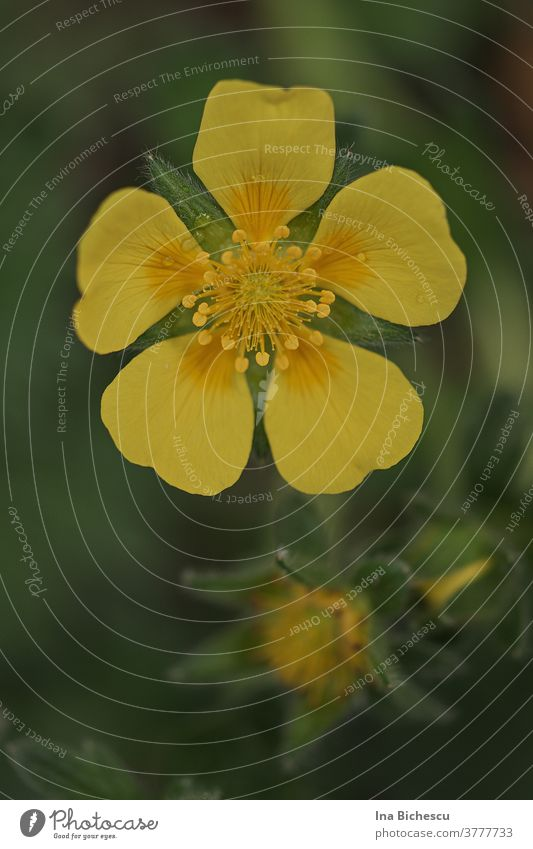 A yellow large-flowered cinquefoil (Potentilla megalantha) flower on a blurred green background. Large-flowered cinquefoil blossom Yellow bleed Orange