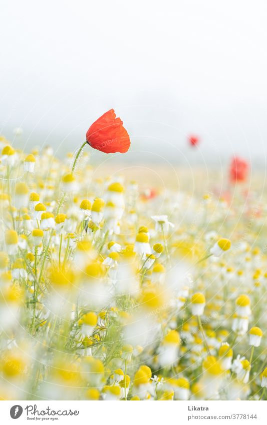 Poppy & Chamomile fields Flower meadow Nature flowers Summer Poppy blossom Arable land out Exterior shot Blossoming Summery Easy June Field