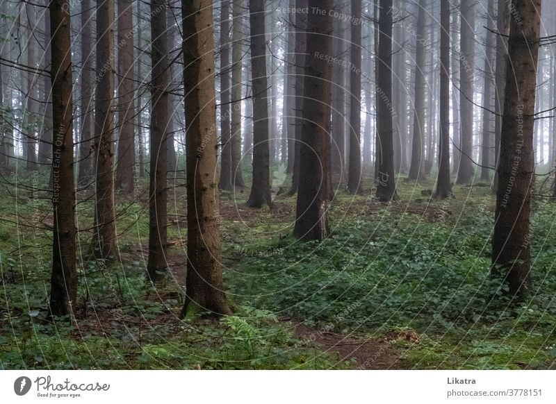 forest in the fog tree Fog To go for a walk Forest forest path out Coniferous forest hike Hiking being out Nature Summer shady Climate Oxygen