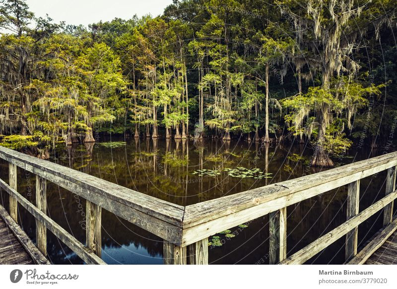 Summer mood at the Caddo Lake, Texas. Wooden bridge leading to a magical forest summer moody cypress trees state park texas caddo lake spanish moss water mystic