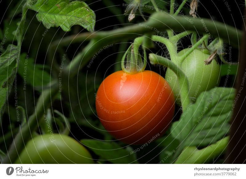 5 - Bright red ripe and ready to eat pair of tomatoes, more copy space Ripe garden undergrowth focus selective Tomatoes growing home gardening Healthy Eating