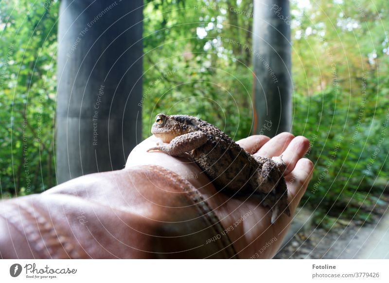 I have found the Frog King - or a hand is carefully holding a big toad to keep it safe red Animal Nature Colour photo 1 Exterior shot Wild animal Close-up Day