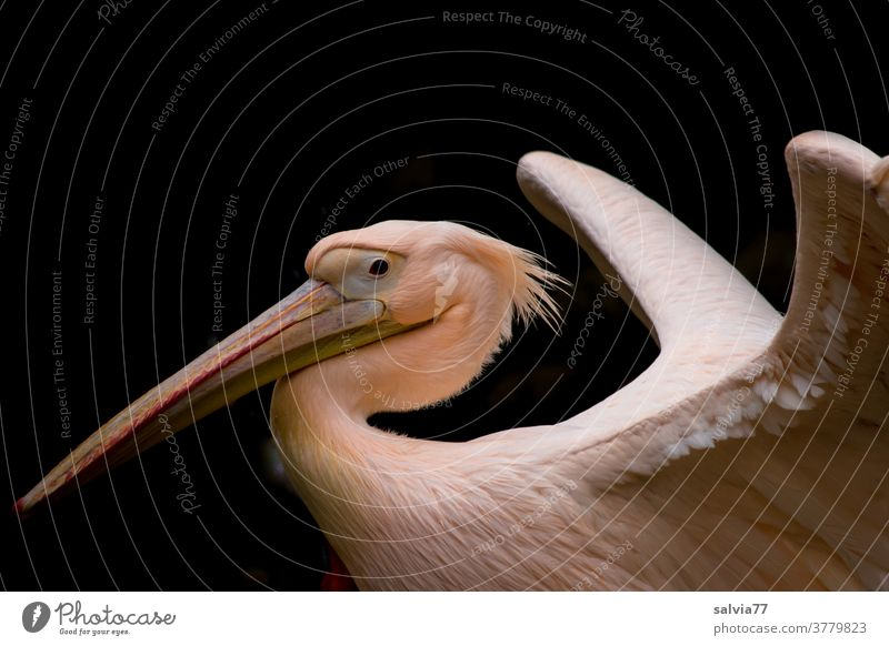 the pelican proudly presents its beautiful plumage Bird Pelican Pelicanus onoctrotalis White Pelican Beak Animal portrait Wild animal 1 Grand piano feathered