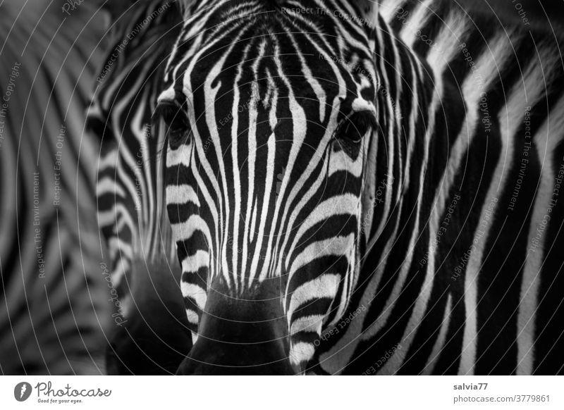 Zebra View Looking Animal Zoology Animal portrait Wild animal Close-up Deserted Stripe Pattern Nature Black White Africa Exterior shot Striped