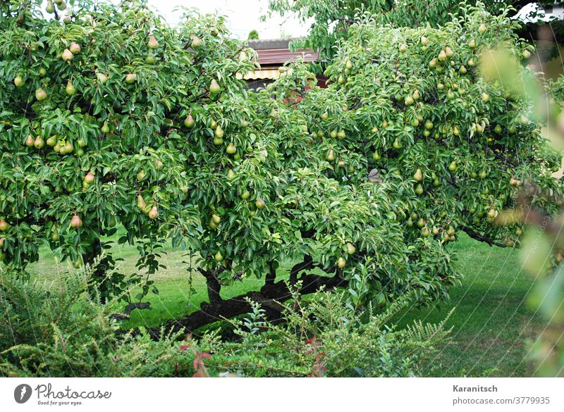 Many pears hang in the dense branches of the pear tree. Pear fruit Pomacious fruits Pear tree Tree Fruit trees Eating food vitamins salubriously Nutrition