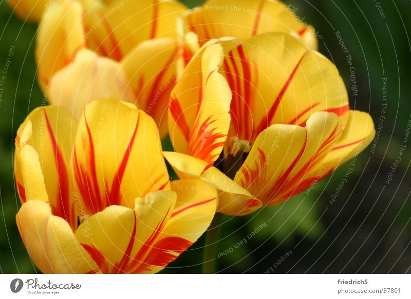 tulip flowers Orange-red Blossom tulip group flame red