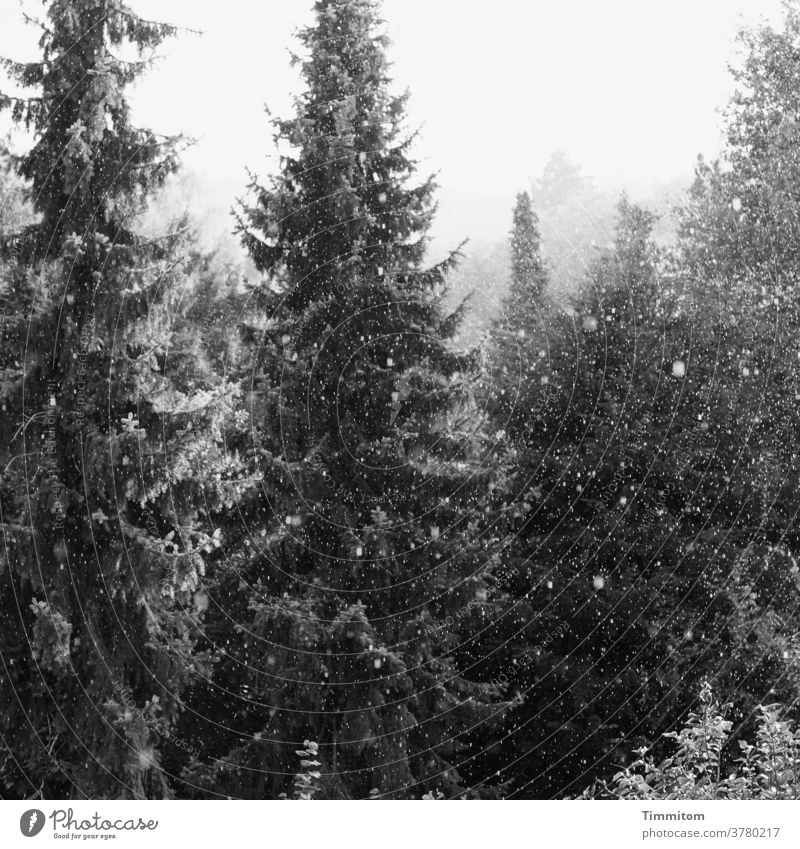 Spruces in a gentle snow flurry spruces Snow trees Forest shrubby snow flurries Snowfall Winter foggy Black & white photo Cold Nature White Deserted