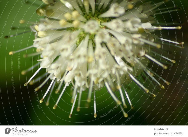 Blossom Thistle Corona