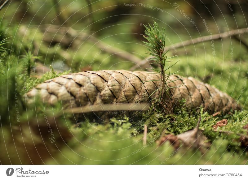 Spruce shoot from spruce cone Tree offshoot Plant Fir cone Spruce cone Coniferous trees Forest Woodground Moss Green Nature Nature's cycle cycle of life