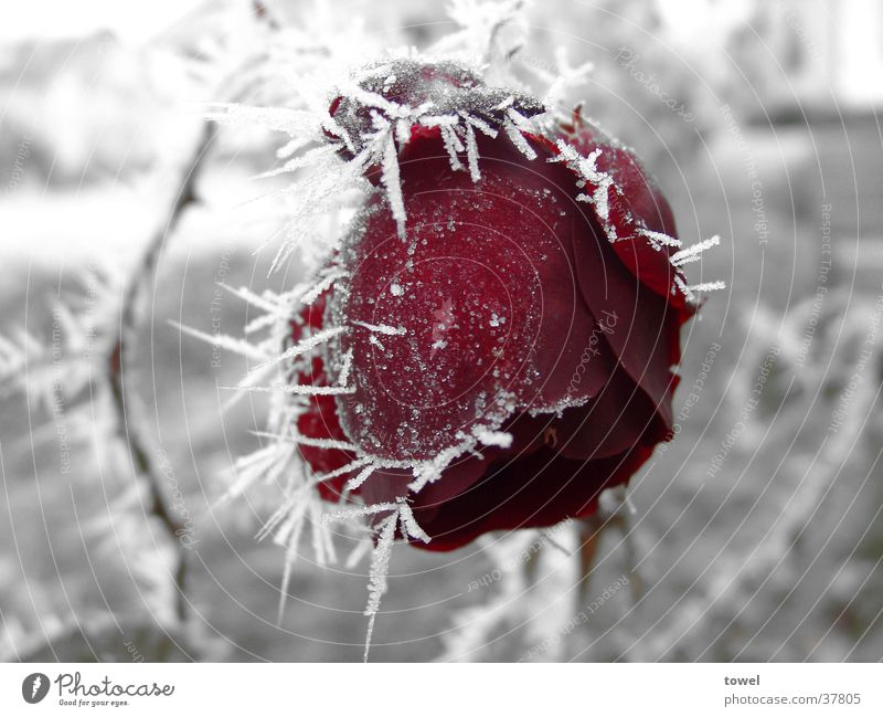ice rose Rose Hoar frost Cold Thorn Red Frozen Gray Winter Ice Contrast Frost