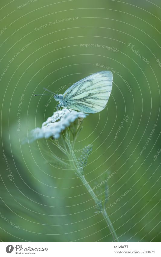 closing time Nature Butterfly Whiting Plant Flower Yarrow Green White Meadow Blossom Summer Close-up Grand piano Rest Break Shallow depth of field