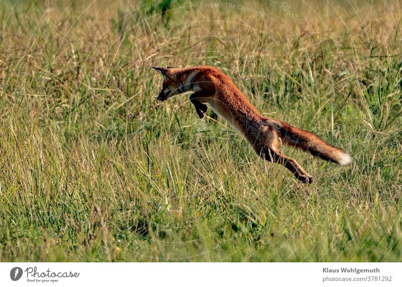 Fox on the hunt Red fox Hunting jump Fuse Pelt Reineke Summer Meadow mouse hunting predator Evening