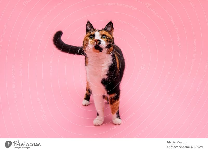 Lucy 3 Cat colored background Animal Pet Animal portrait Colour photo Deserted Neutral Background Animal face Interior shot Cute Pelt Stand Pink Speckled