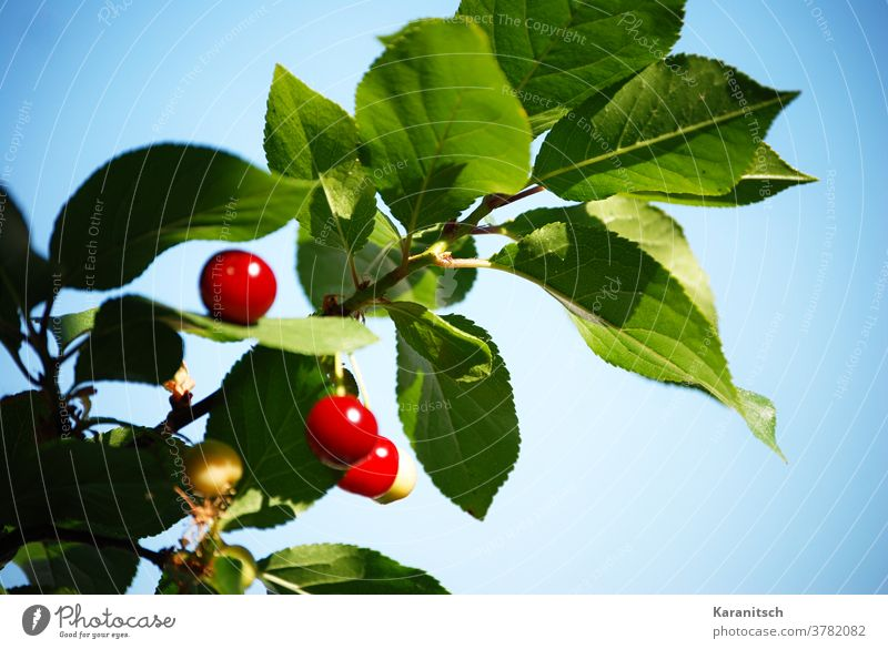 The branch of a cherry tree with bright red cherries. Cherry fruit Stone fruit fruits Red Illuminate Cherry tree Branch Twig Summer Harvest reap Mature