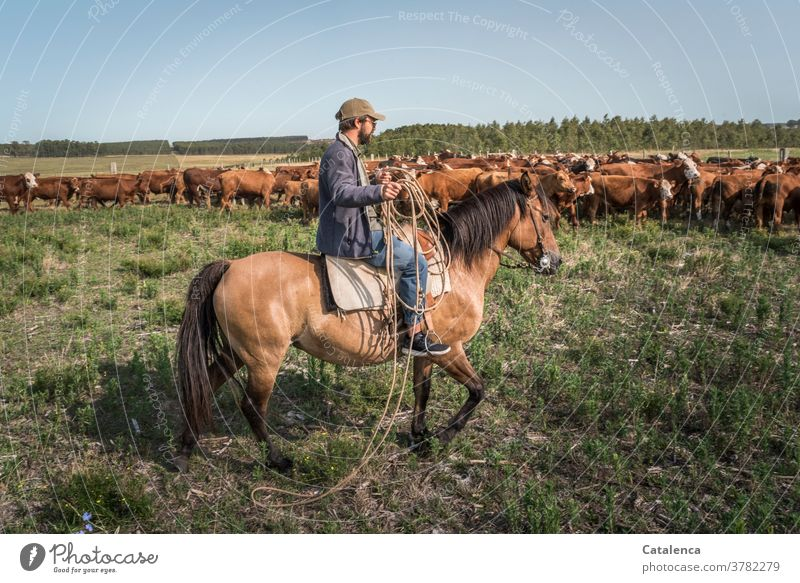 Horse and rider with lasso approach the herd of cows in the pasture daylight Day Beautiful weather Grass Sky Horizon Cow Farm animal Animal Nature Landscape