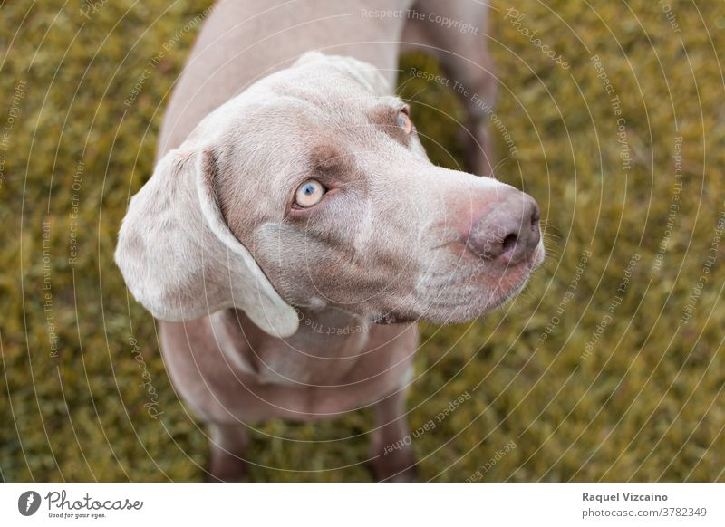 Close-up of a gray weimaraner breed dog with yellow eyes. pet animal brown labrador puppy cute canine grass portrait close-up retriever chocolate white young