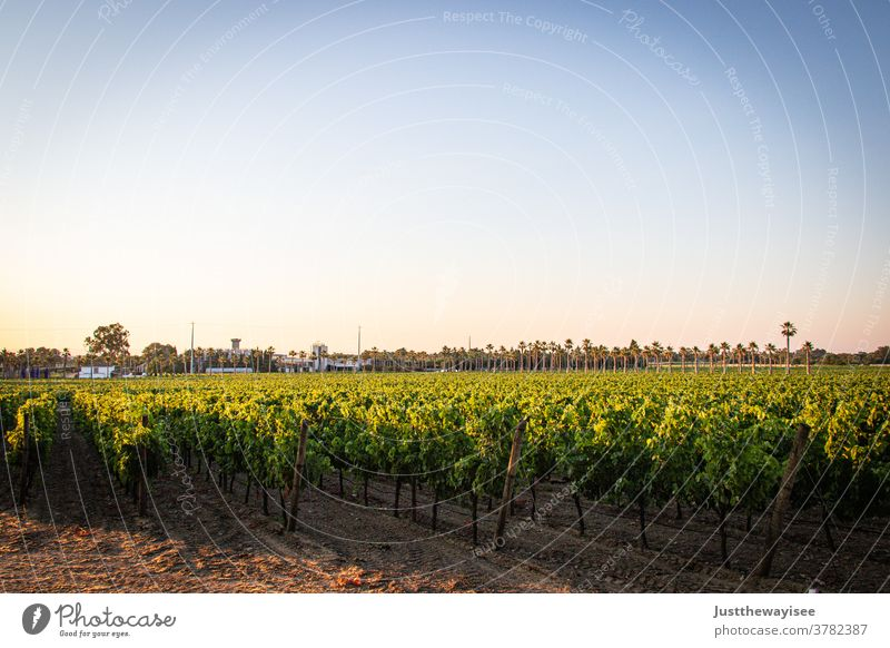 Portuguese Vineyard country wineyard agriculture Autumn Rural Landscape Exterior shot Sunset seasonal production grapevine spring grape vines field toned bunch