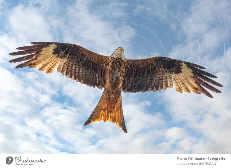 Flying red kite Red Kite Red kite milvus milvus Bird of prey Bird in flight Head Beak Eyes Grand piano plumage feathers Wing span flapping Sky Clouds Sun