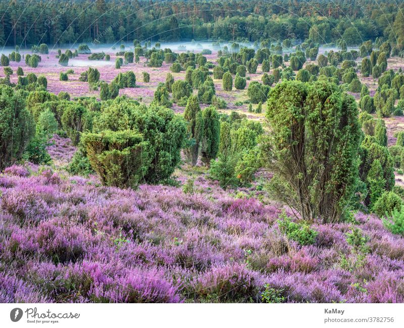 Dead ground in the Lüneburger Heide at sunrise, Lower Saxony, Germany Luneburg Heath Landscape Heathland heather Ground of the Dead heather blossom purple