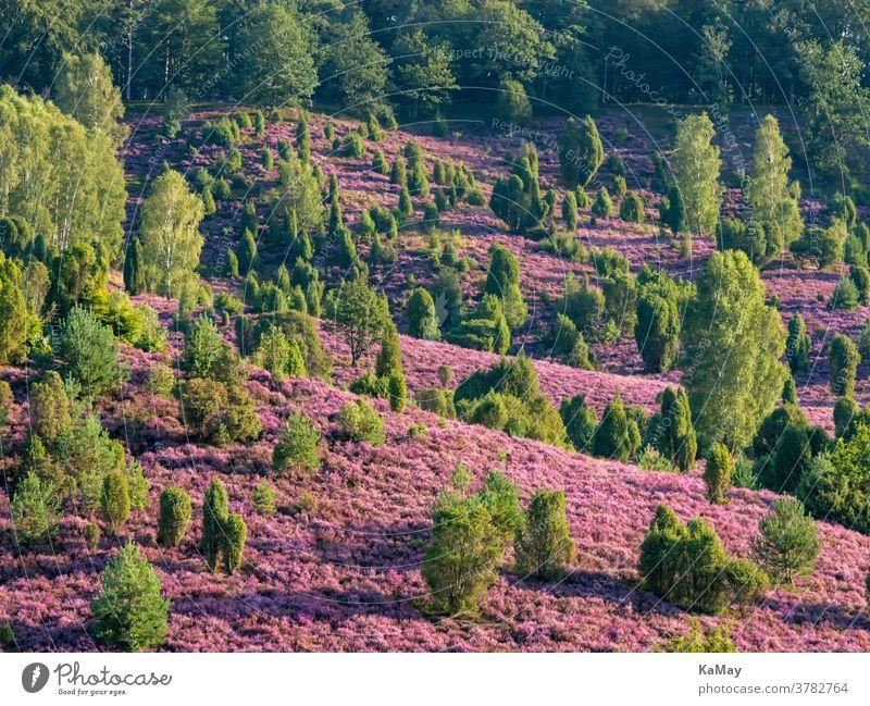 Landscape in the Lüneburg Heath at the Totengrund to the heather blossom, Lower Saxony, Germany Luneburg Heath Heathland purple travel destination