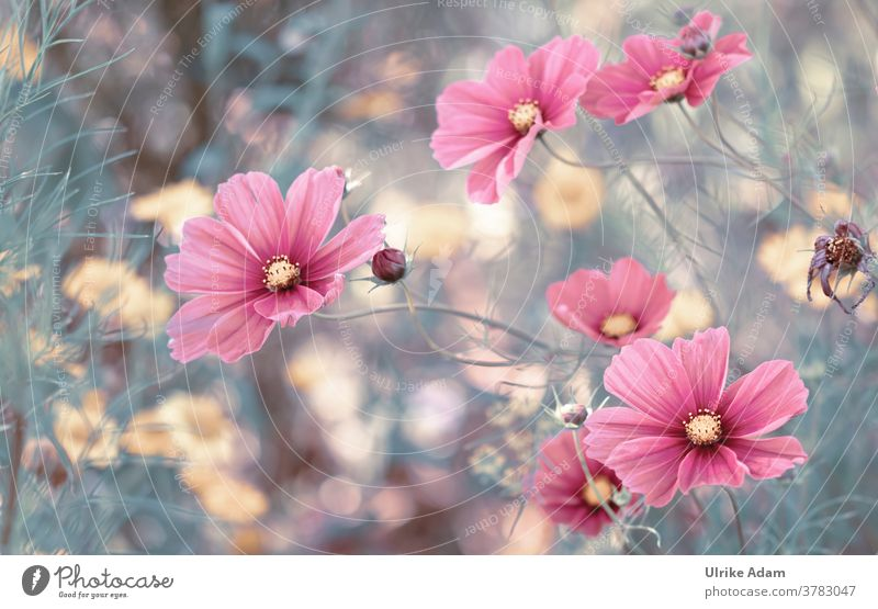 Beautiful flowers of the decorative basket (Cosmos bipinnatus) Cosmeen Blossom Flower Summer Pink Detail Nature Garden Exterior shot Deserted Blossoming