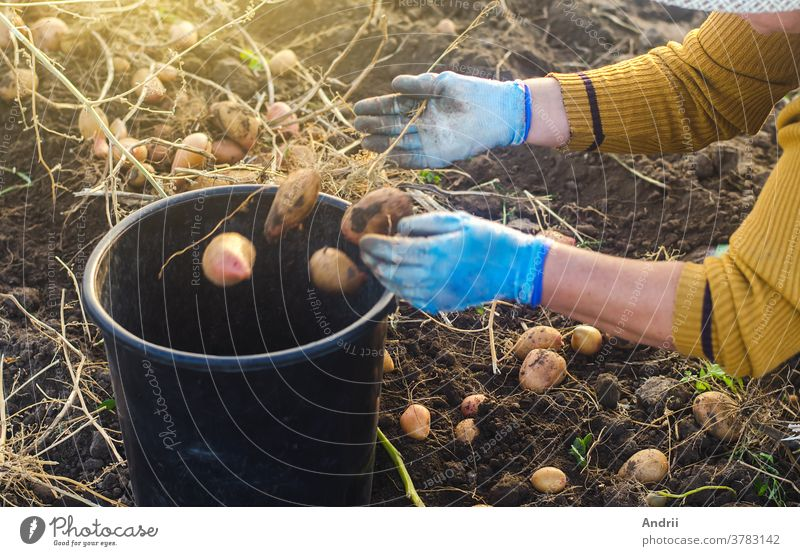 A farmer woman collects potatoes in a bucket. Work in the farm field. Pick, sort and pack vegetables. Organic gardening and farming. Harvesting campaign, recruiting seasonal workers.