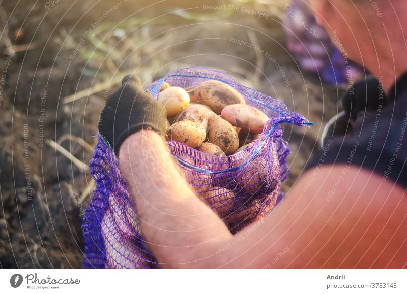 A farmer fills a mesh bag with harvest potatoes. Harvesting potatoes campaign on farm plantation. Farming. Countryside farmland. Growing, collecting, sorting and selling vegetables.