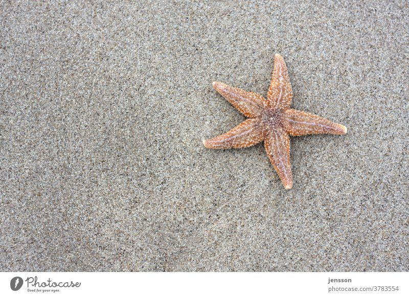 Starfish on the beach Beach Sand North Sea coast Copy Space left vacation Exterior shot Close-up view under natural lighting conditions voyage Detail Germany