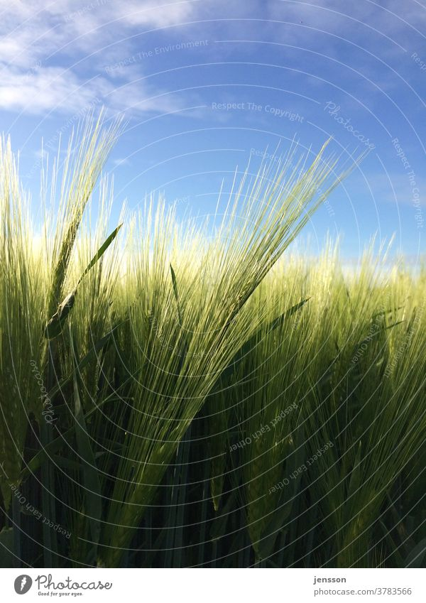 Green barley in the field Harvest Foliage plant Agricultural crop Agriculture agricultural land Barley Barley ear Barleyfield spike Ear of corn Nature