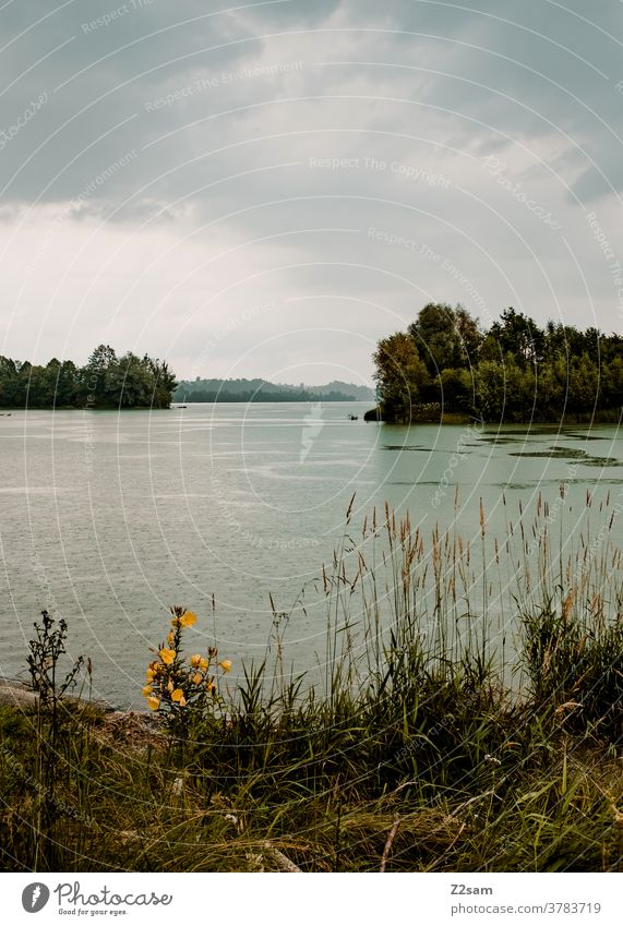 Forggensee with rain Bavaria Rain Bad weather Clouds Gray Green Common Reed shrubby trees Summer Warmth warm plants Water Body of water waters feet Nature