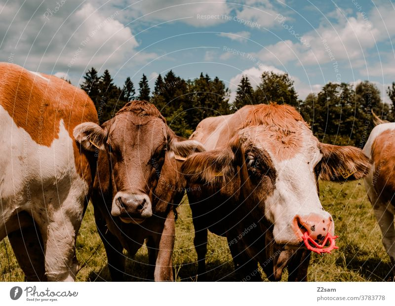 Cows in Bavaria on the pasture cows Farm animals Close-up Green Landscape Nature Forest Sky Clouds Summer Sun Nose ring Meadow Willow tree Pelt Agriculture Herd