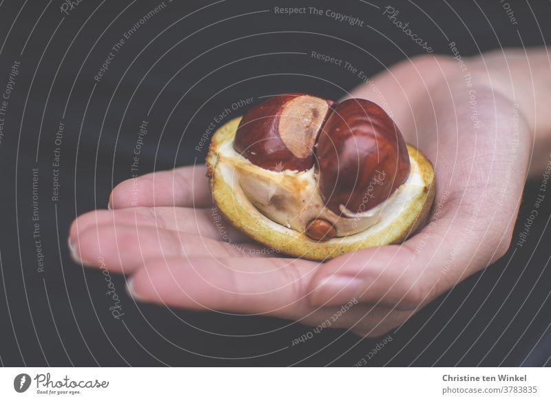 A small chestnut family in their fruit husk, held by the hand of a young woman chestnuts Family big and small stick together Attachment Hand stop Safety October