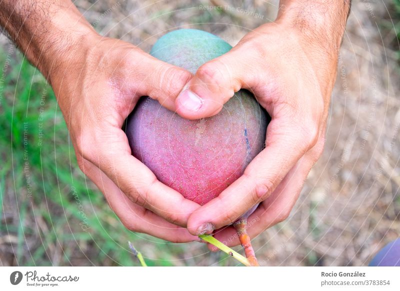 Male Hands making a heart on a mango or tropical fruit agriculturist hands orchard vegan male love friendly environment ecological eco friendly organic