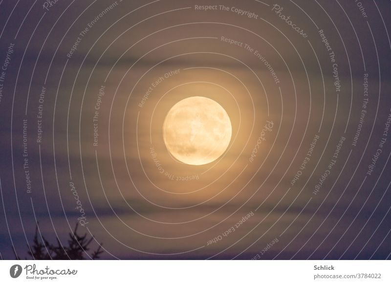 Full moon with corona behind veil clouds and tree tops Full  moon cirrostratus clouds golden Tree tops Twilight Sky centered Central Star earthmoon Blue Violet