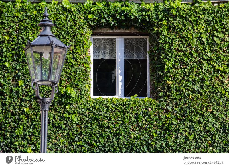 live for a reason Facade Ivy Wall (building) Green Growth Tendril Overgrown Nature Creeper Window streetlamp Trimmed Frame Brandenburg an der Havel Decoration