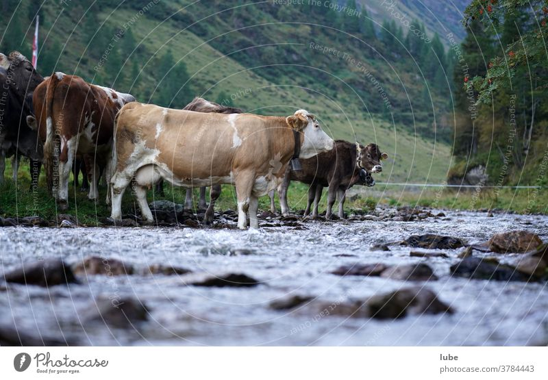Cattle at the waterfront Malfonalm brand-new Malfontal Livestock Water Farm Agriculture cattle Cow Alpine pasture Mountain pasture Cattle breeding Tyrol