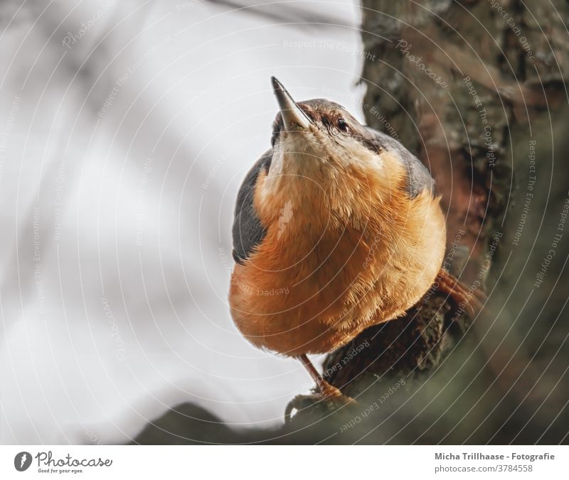 observation Eurasian nuthatch Sitta Europaea Animal face Head Eyes Beak Grand piano Feather Plumed Claw Hang Observe Looking Bird Wild animal Tree Tree trunk