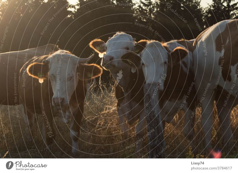 Cows standing on pasture in the evening sun cows Willow tree Evening sun Summer Nature Country life