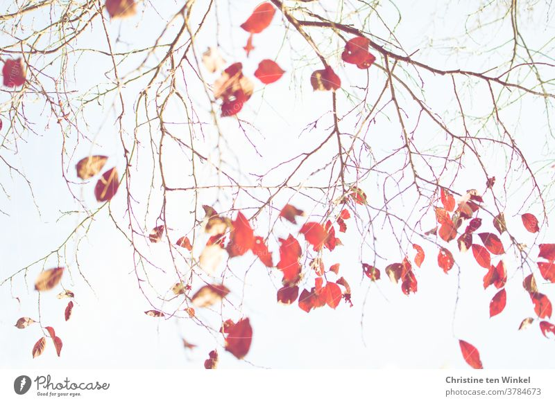 The last red leaves on the almost bare branches of a blood plum. Looking up into the bright sky. Autumnal colours coloured leaves Autumn leaves October Delicate