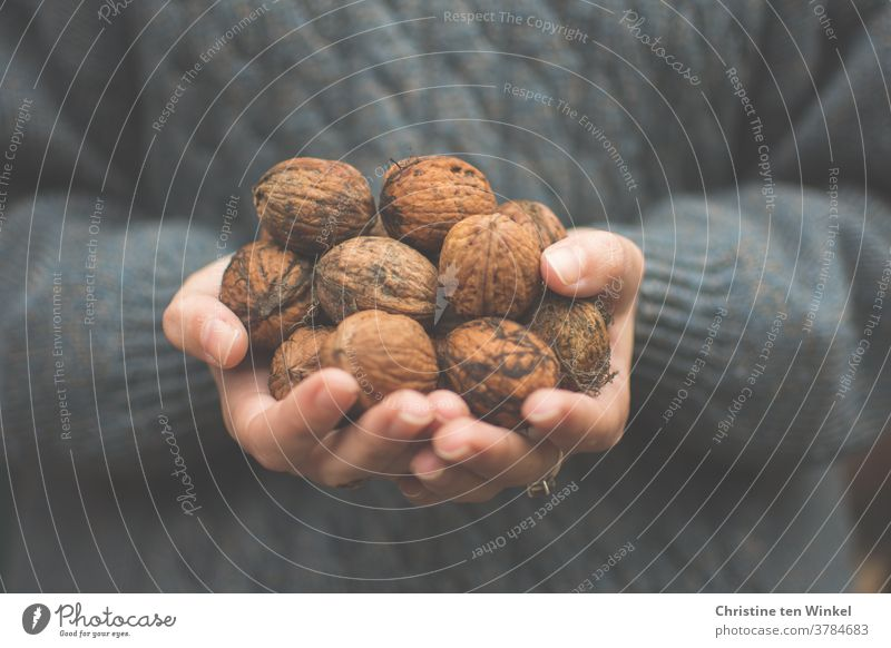 Many freshly collected walnuts in the hands of a young woman. Autumnal dark background with knitted plait sweater. Close up Walnuts fruits Fresh Mature stop