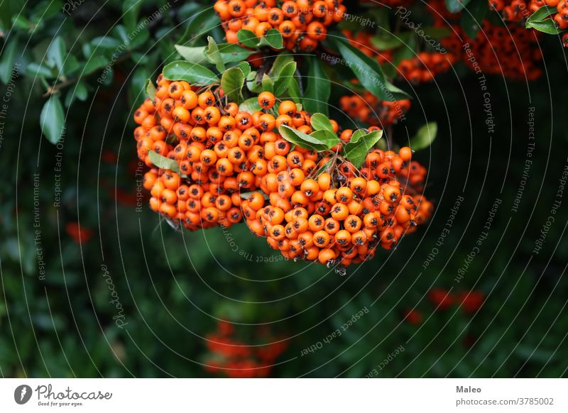 Pyracantha branches with bright orange ripe berries autumn background beautiful berry blossom blurred botanical botany bunch bush closeup color colorful colour