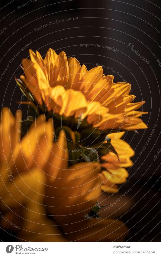 Macro shot of a sunflower Sunflower Sunflower seed Sunflowers Yellow Flower Blossom petals Pollen Pistil Plant Nature Summer Close-up Garden