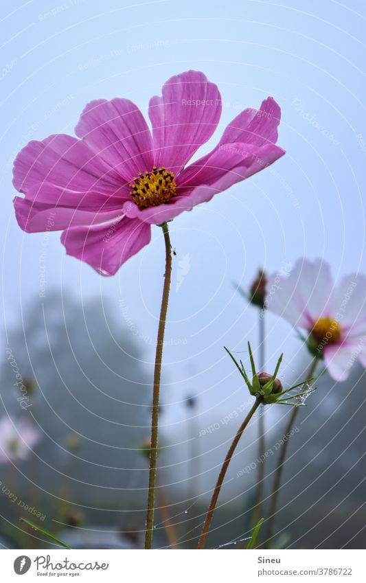 Jewellery baskets in autumn Cosmos Pink-leaved decorative flower cosmetics bipinnata composite asteraceae Flower Blossom Nature Cosmea Autumn Autumnal Plant