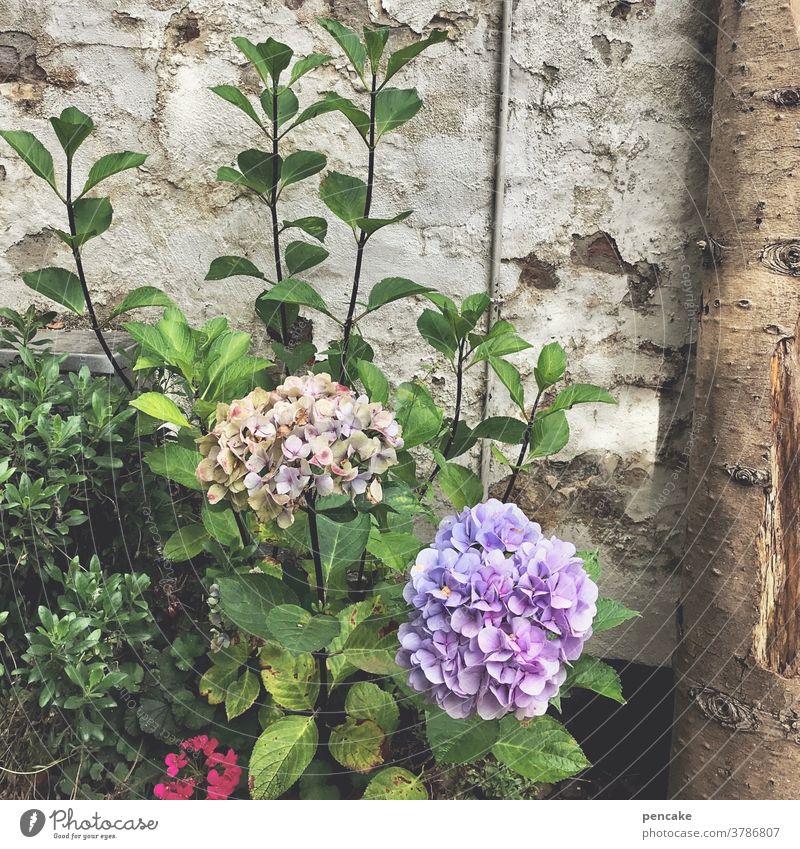 bloomingville Blumen Blüten Hortensie Strauch lila Mauer alt Altsradt gemütlich Dänemark