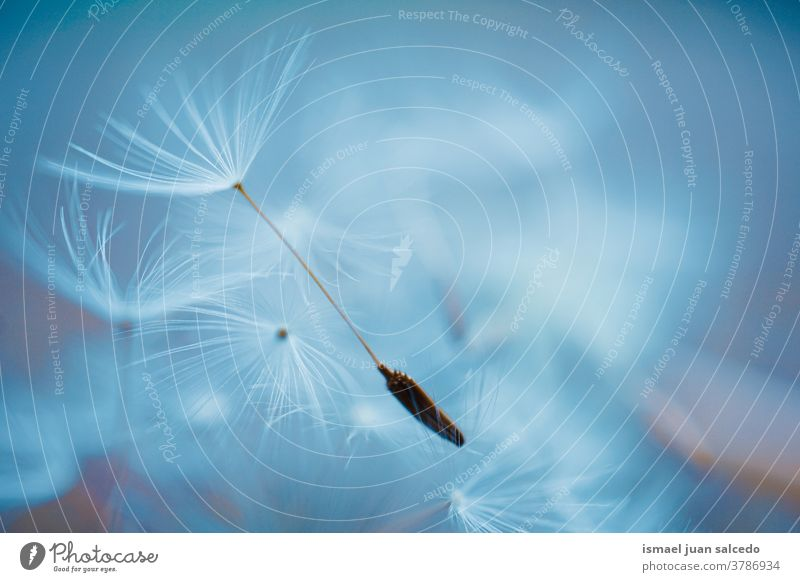 beautiful dandelion seed, autumn season flower plant white blue floral garden nature natural decorative decoration abstract textured soft softness background