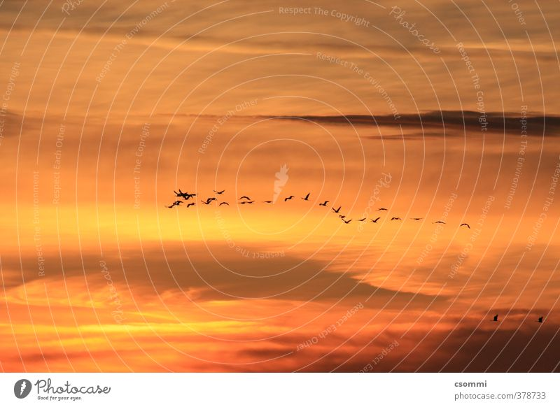 homebound Bird Crane Flight of the birds Flock of birds Flying Elegant Free Orange Trust Agreed Wanderlust Beginning Esthetic Attachment Produce